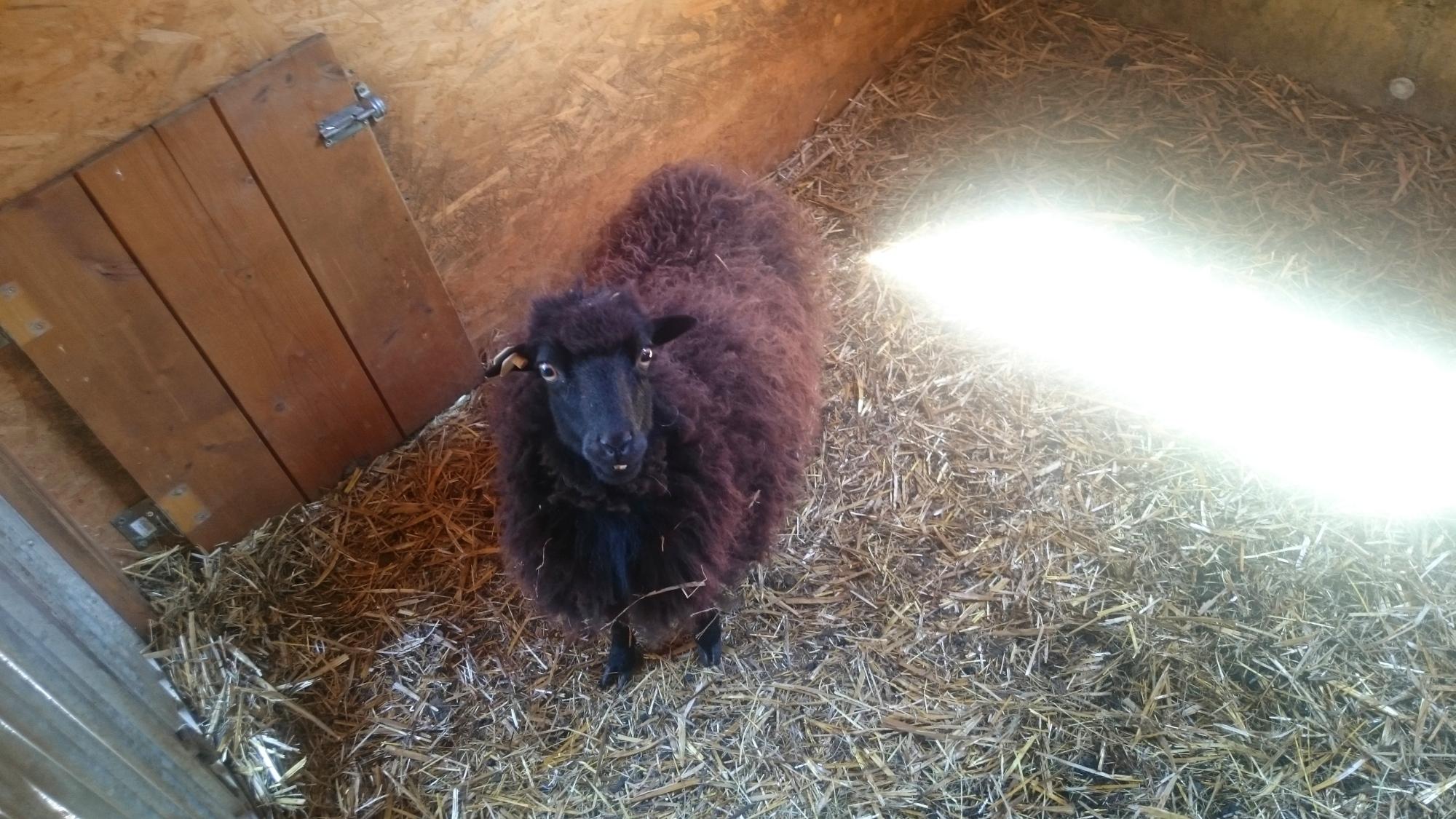 Schafe scheren vorher